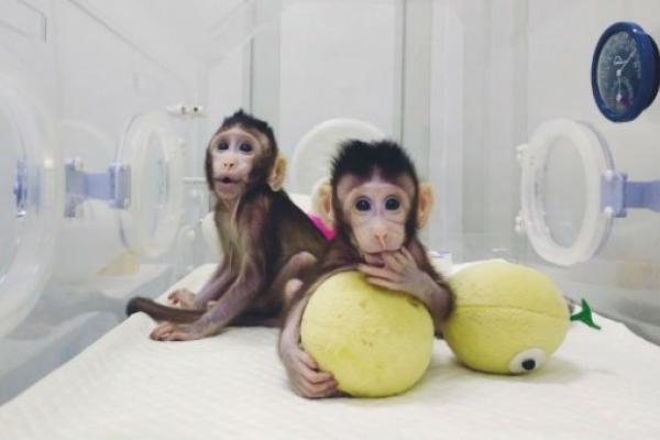 Polémica y peligrosa clonación de dos monos en China